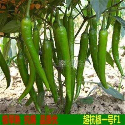 超杭椒一号辣椒种子 辣味浓 耐寒耐热 抗性高 小杭椒种子四季种